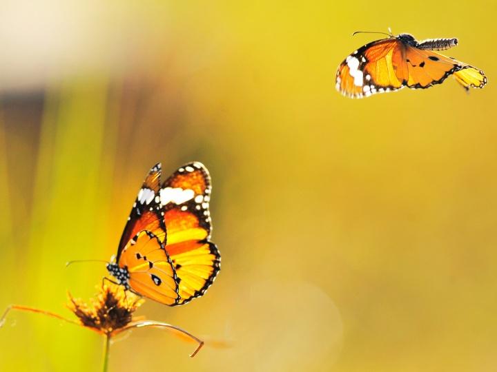 fotos-de-mariposas-amarillas