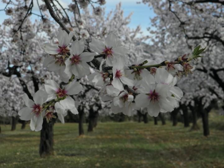 almendros-en-flor-3-sabores-con-arte-jpg