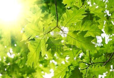8979253-primavera-hermosa-hojas-de-rbol-de-arce-y-rayos-de-luz