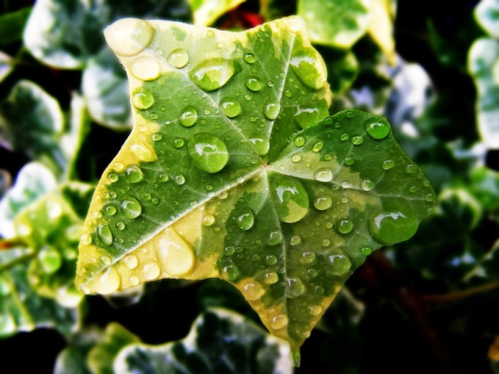 rain_on_ivy_leaf_by_s_kmp-d39yh8k
